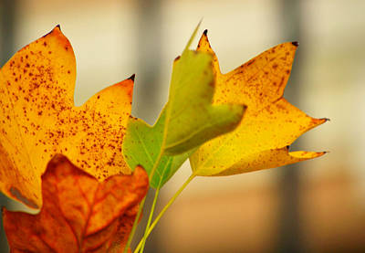 Photograph - Tulip Tree by Rima Biswas