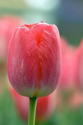 Spring Bulbs Photograph - Tulip (tulipa 'judith Leyster') by Adrian Thomas
