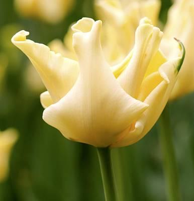 Spring Bulbs Photograph - Tulip (tulipa 'yellow Crown') by Adrian Thomas