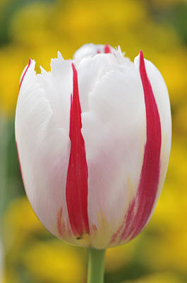 Tulip White And Red Art Print