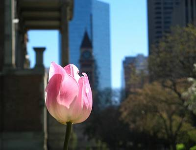 Tulip With Toronto Old City Hall Art Print by Alfred Ng