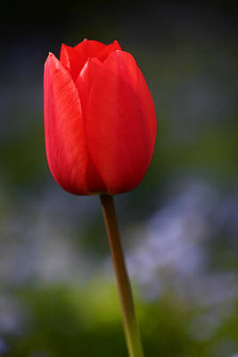 Photograph - Tulip Zurich Switzerland by Benjamin Dahl
