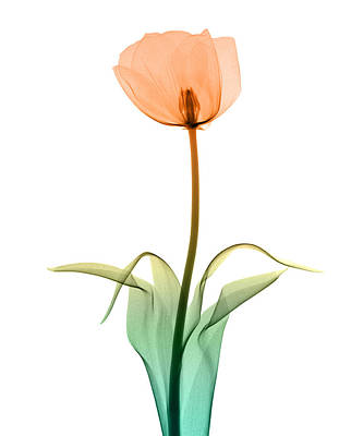 X-ray Image Photograph - Tulip_10 by Peter Dazeley
