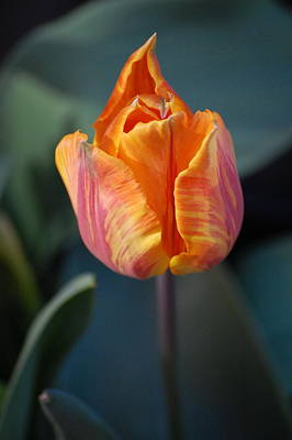 Tulips - Orange And Red Art Print by Dickon Thompson