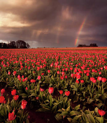 Tulips In Field Photograph - Tulips And Rainbows by Jamey Pyles Photography