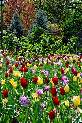Botanic Photograph - Tulips And Spruce by Nancy Mueller