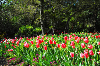 Tulips And Woods Art Print by Lynn Bauer