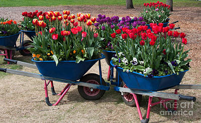 Photograph - Tulips By The Barrow Loads by Fran Woods