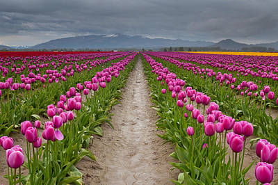 Tulips In Field Photograph - Tulips Festival by Helminadia