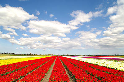 Tulips In Field Photograph - Tulips Field by Amsterdam Today