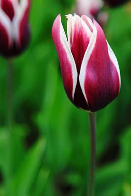 Tulips In Purple Art Print by Kean Poh Chua