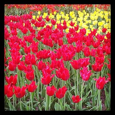 Florals Photograph - Tulips by Lazy Talent