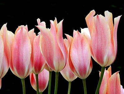 Photograph - Tulips by Nicola Butt