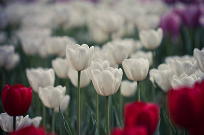 Y120831 Photograph - Tulips by Pan Hong