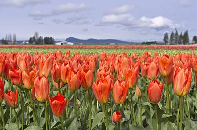 Photograph - Tulips by Priya Ghose