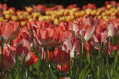 Tulips  Art Print by Ralph Jones
