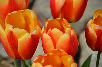 Photograph - Tulips by Randy J Heath