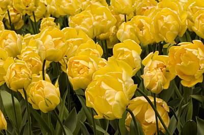 Spring Bulbs Photograph - Tulips (tulipa 'akebono') by Adrian Thomas