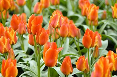 Spring Bulbs Photograph - Tulips (tulipa Greigii 'compostella') by Adrian Thomas