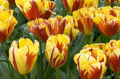 Spring Bulbs Photograph - Tulips (tulipa 'holland Queen') by Adrian Thomas