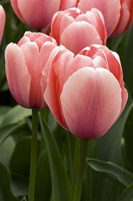 Spring Bulbs Photograph - Tulips (tulipa 'salmon Impression') by Adrian Thomas