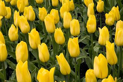 Spring Bulbs Photograph - Tulips (tulipa 'strong Gold') by Adrian Thomas