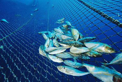 Tuna Fish Farm Food Art Print by Alexis Rosenfeld