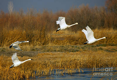 Tundra Swan Photograph - Tundra Flight by Mike  Dawson