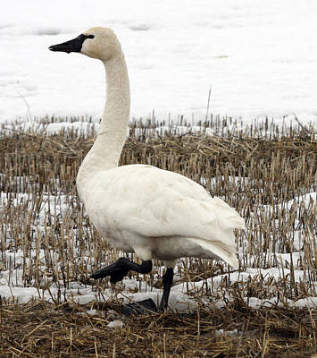 Photograph - Tundra Swan - 0018 by S and S Photo