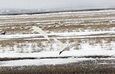 Photograph - Tundra Swan - 0020 by S and S Photo