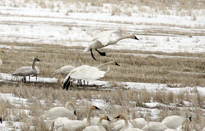 Photograph - Tundra Swan - 0022 by S and S Photo