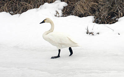 Photograph - Tundra Swan - 0032 by S and S Photo