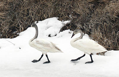 Photograph - Tundra Swan - 0033 by S and S Photo