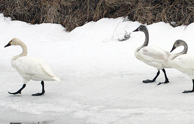 Photograph - Tundra Swan - 0034 by S and S Photo