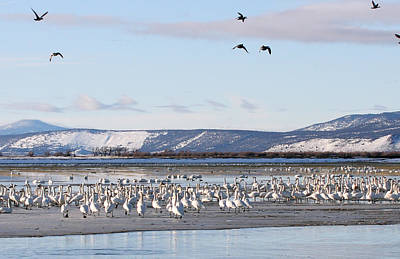 Photograph - Tundra Swan - 0036 by S and S Photo