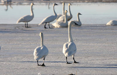 Photograph - Tundra Swan - 0037 by S and S Photo