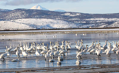Photograph - Tundra Swan - 0038 by S and S Photo