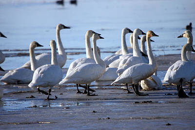 Photograph - Tundra Swan - 0039 by S and S Photo