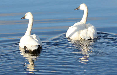 Photograph - Tundra Swan - 0040 by S and S Photo