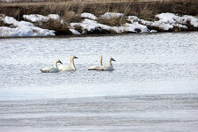 Photograph - Tundra Swan - 0042 by S and S Photo