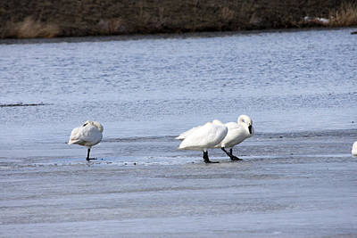 Photograph - Tundra Swan - 0043 by S and S Photo