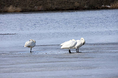 Photograph - Tundra Swan - 0044 by S and S Photo