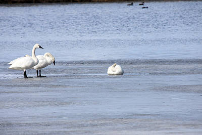 Photograph - Tundra Swan - 0045 by S and S Photo