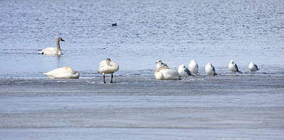 Photograph - Tundra Swan - 0046 by S and S Photo