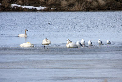 Photograph - Tundra Swan - 0047 by S and S Photo