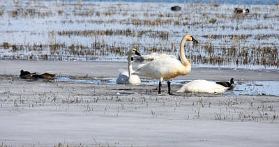 Photograph - Tundra Swan - 0048 by S and S Photo