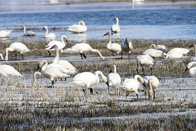Photograph - Tundra Swan - 0049 by S and S Photo