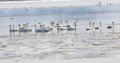 Photograph - Tundra Swan - 0055 by S and S Photo