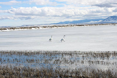 Photograph - Tundra Swan - 0057 by S and S Photo
