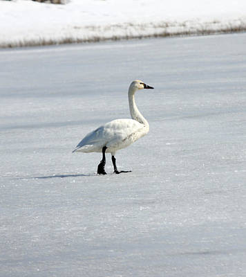 Photograph - Tundra Swan - 0059 by S and S Photo